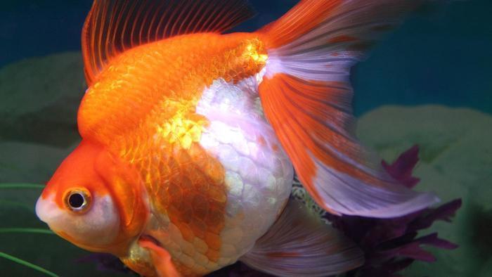 Беременная золотая рыбка как выглядит 23