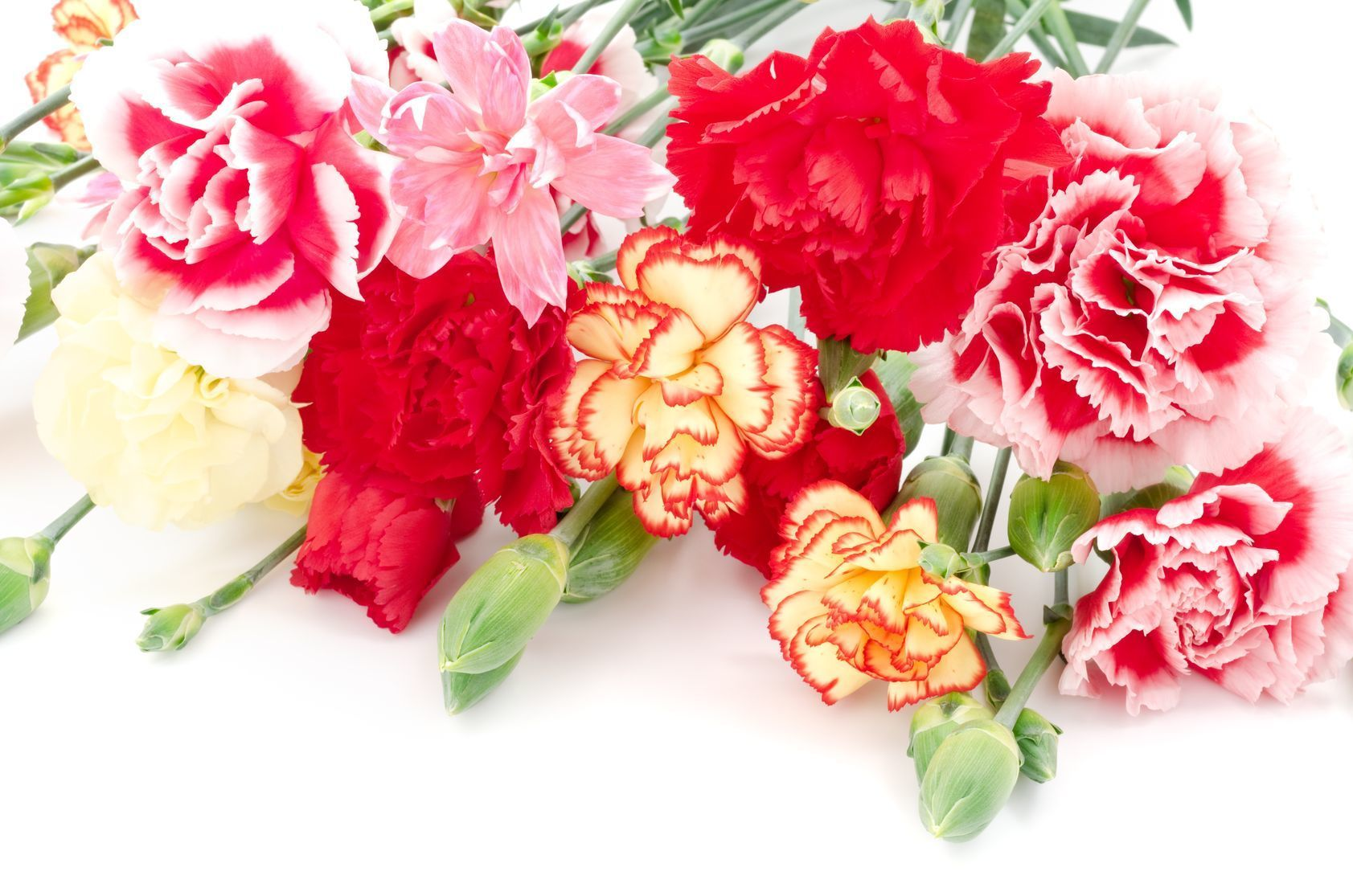 Flitto content do you know the meaning of lovely flower of spring similar to some of the other flowers in this list the carnations have different meanings according to their colors biocorpaavc