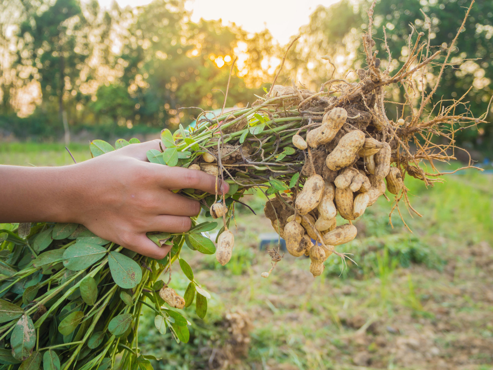 Картинка арахиса растения